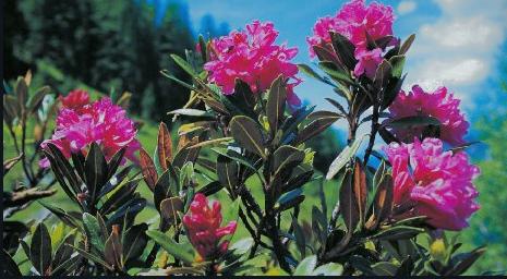 Rose des alpes